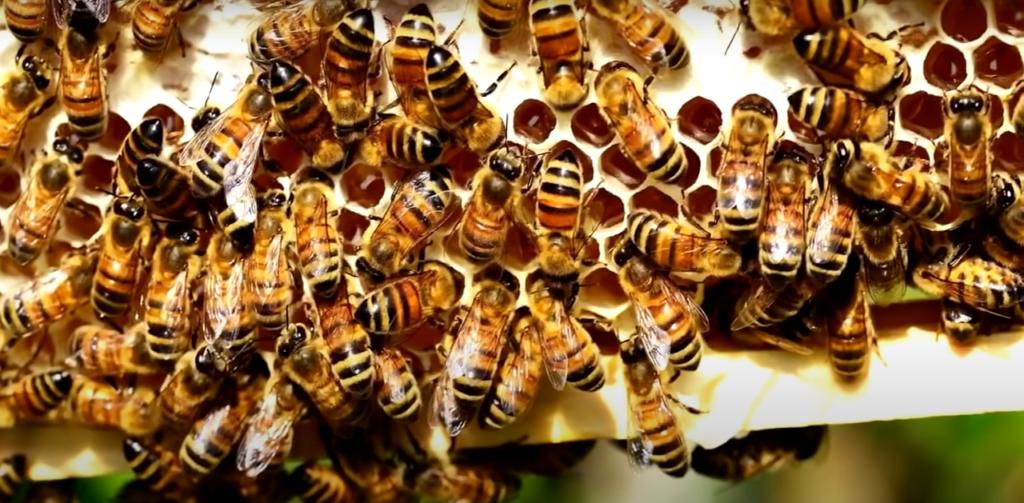 рабоче пчёлы