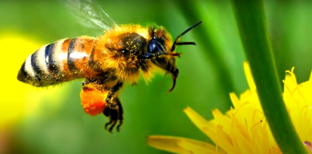 транспортировочный желудок пчелы