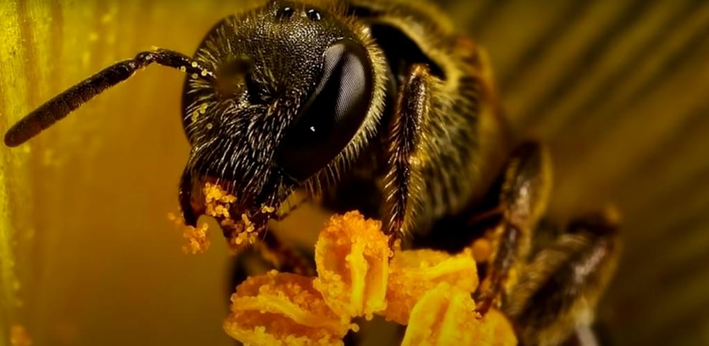 Пережевывание нектара пчелой