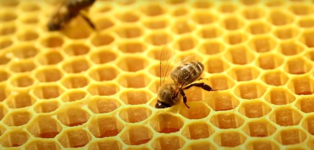 пчелы раскладывают нектар по сотам