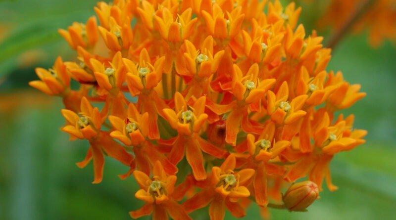 цветок восточник (Asclépias)