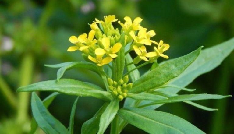 Пыльцевая продуктивность медоносов и крестоцветных растений