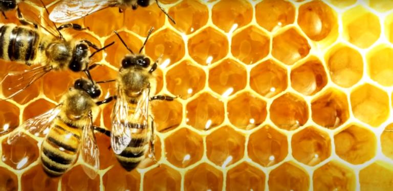 Как пчелы делают мед (описание процесса) видео