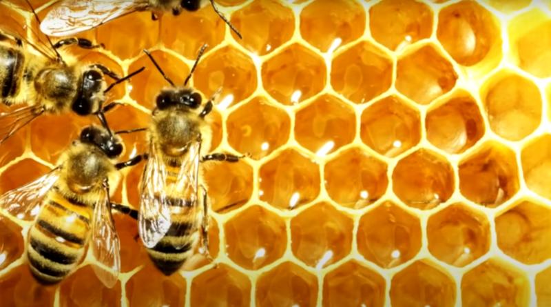 как пчелы делают мёд