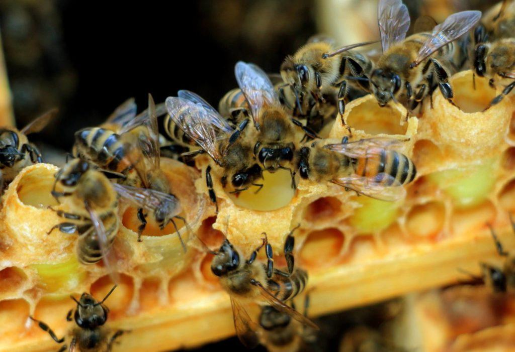 Пчелиное молочко адсорбированное