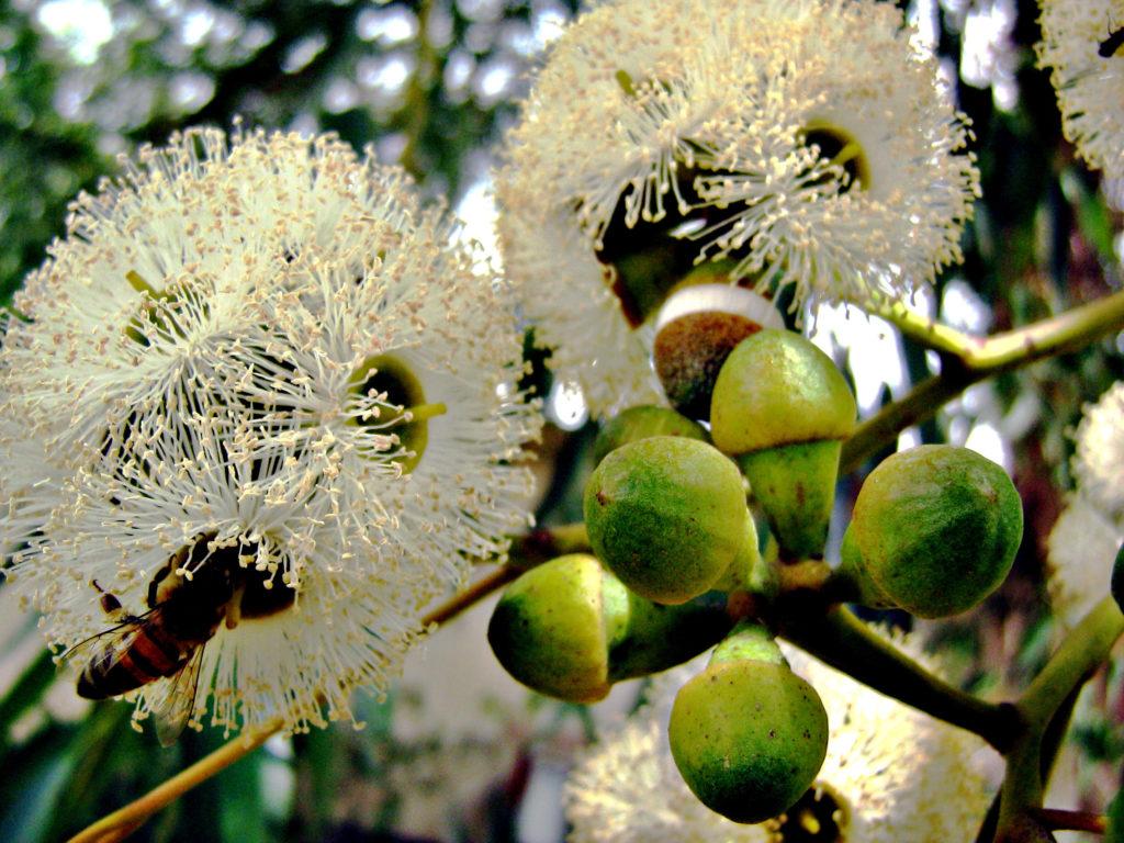 мёд эвкалипта