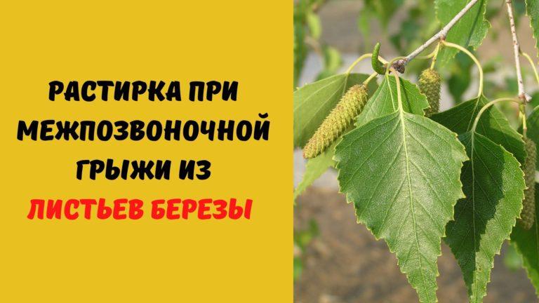 Растирка от межпозвоночной грыжи (листья березы и кукурузное масло)