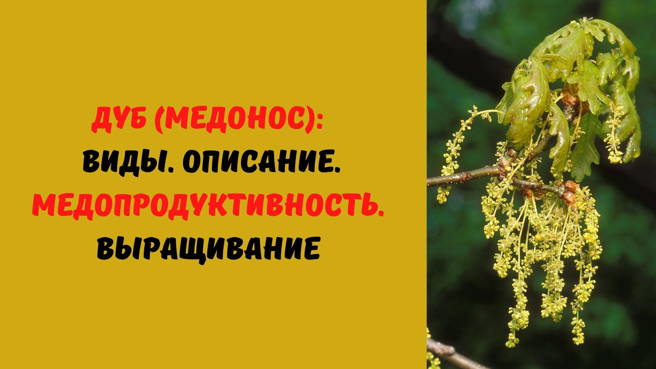 дуб медонос