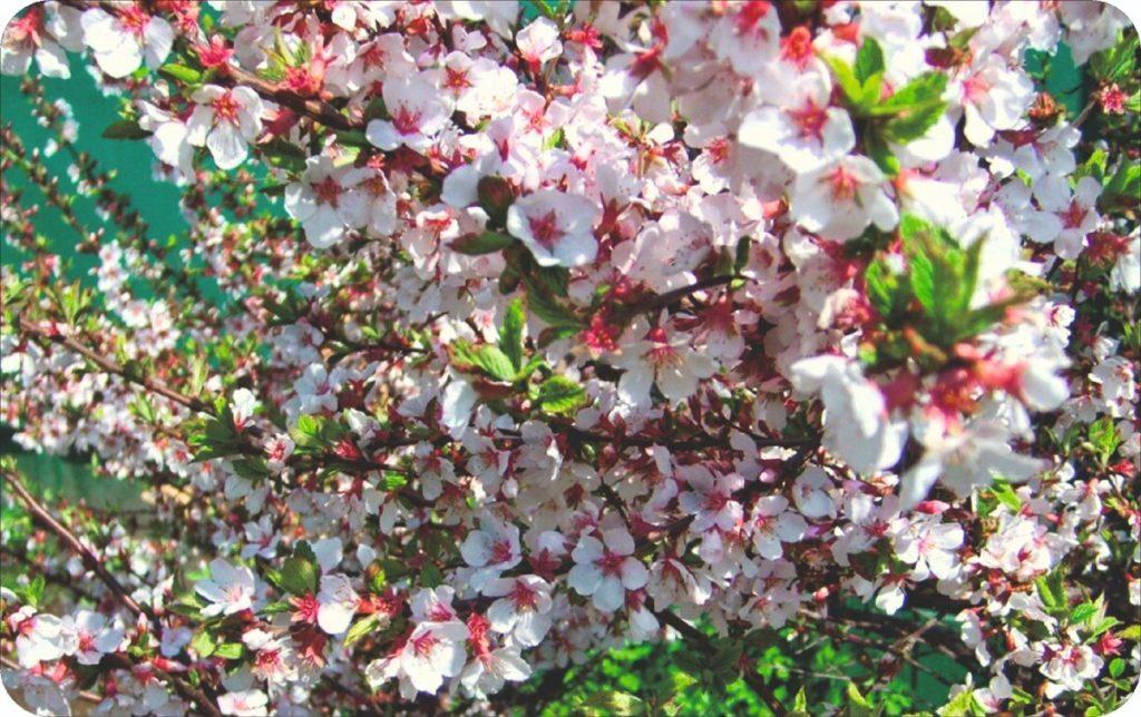 Дальневосточная (войлочная)  вишня