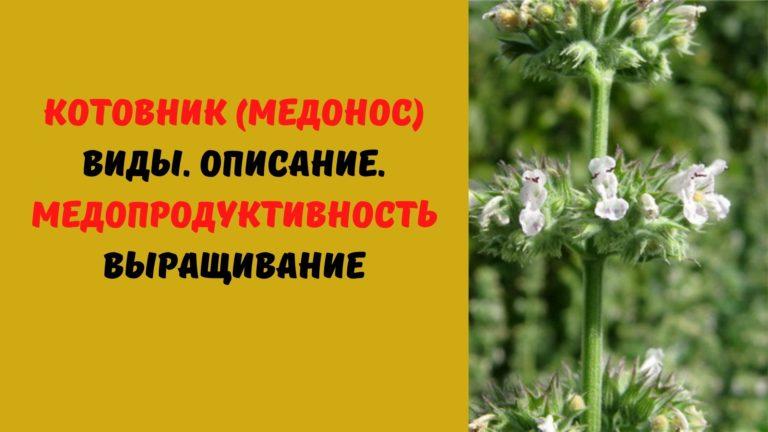Котовник (медонос): Виды. Описание. Медопродуктивность. Выращивание