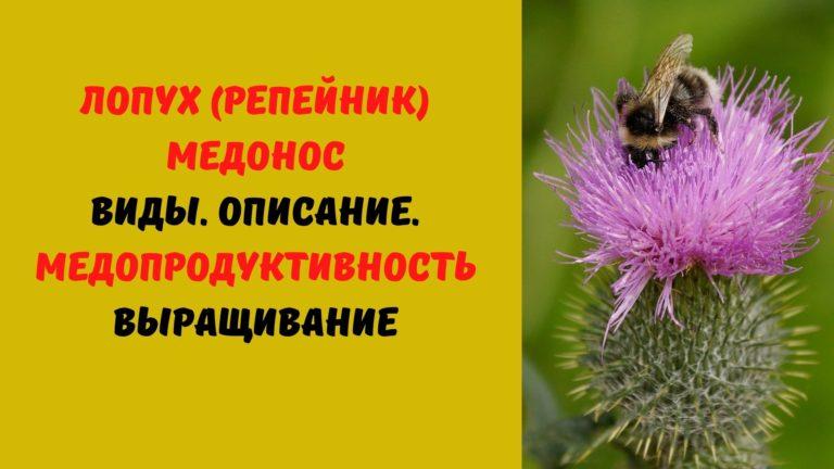 Лопух (репейник) медонос: Виды. Описание. Медопродуктивность. Выращивание