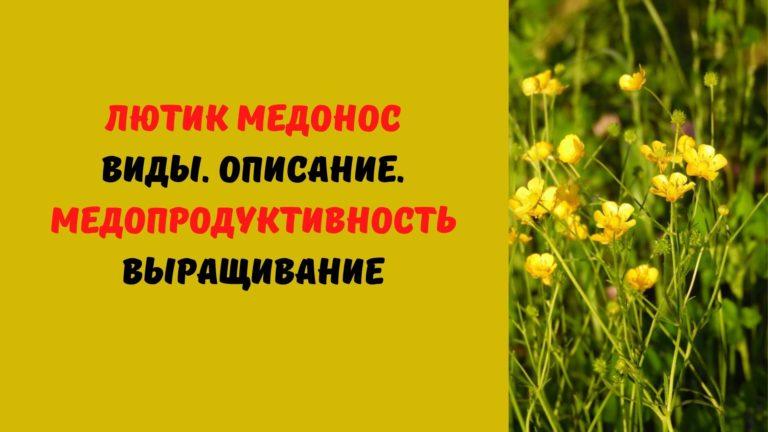 Лютик медонос: Виды. Описание. Медопродуктивность. Выращивание