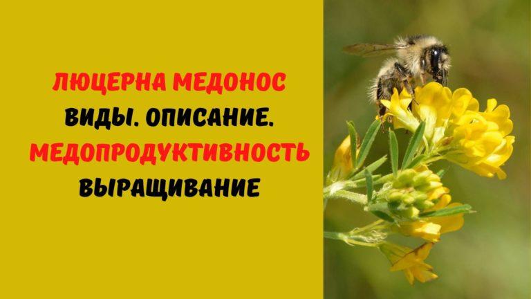 Люцерна медонос: Виды. Описание. Медопродуктивность. Выращивание