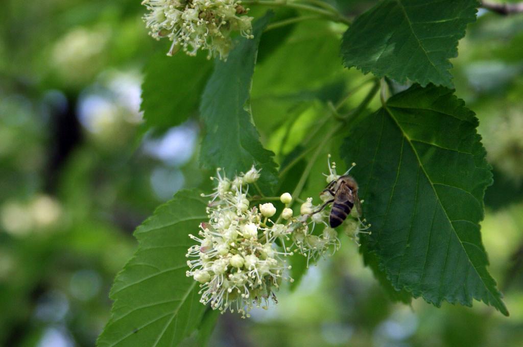 черноклен цветение