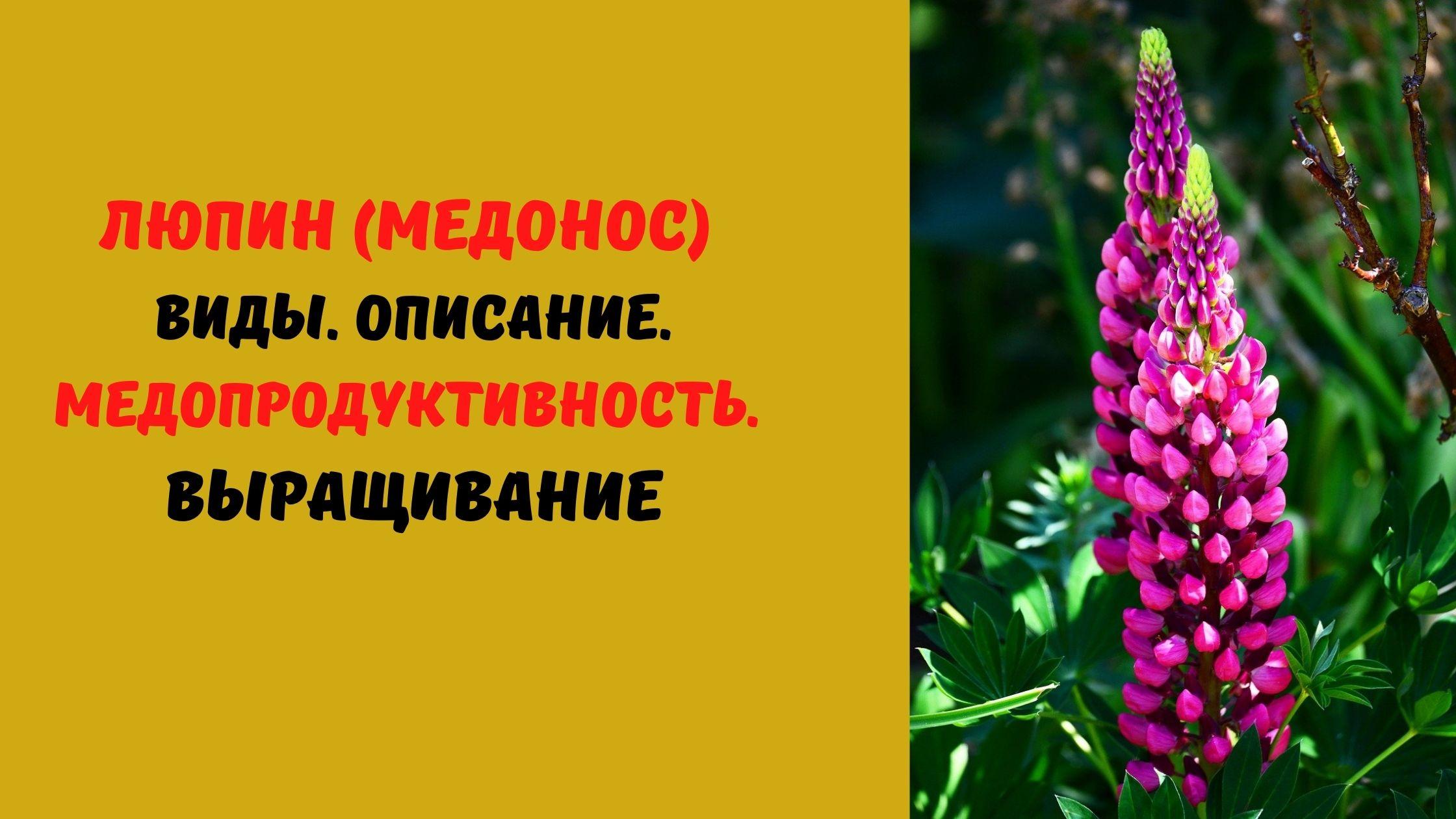 люпин медонос