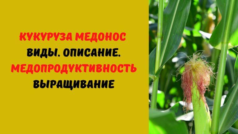 Кукуруза (медонос): Виды. Описание. Медопродуктивность. Выращивание