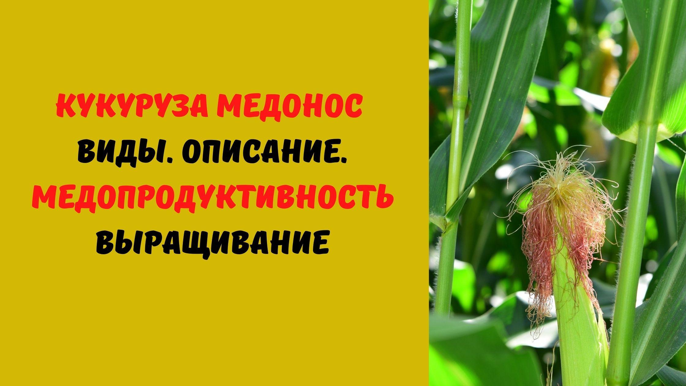 кукуруза медонос