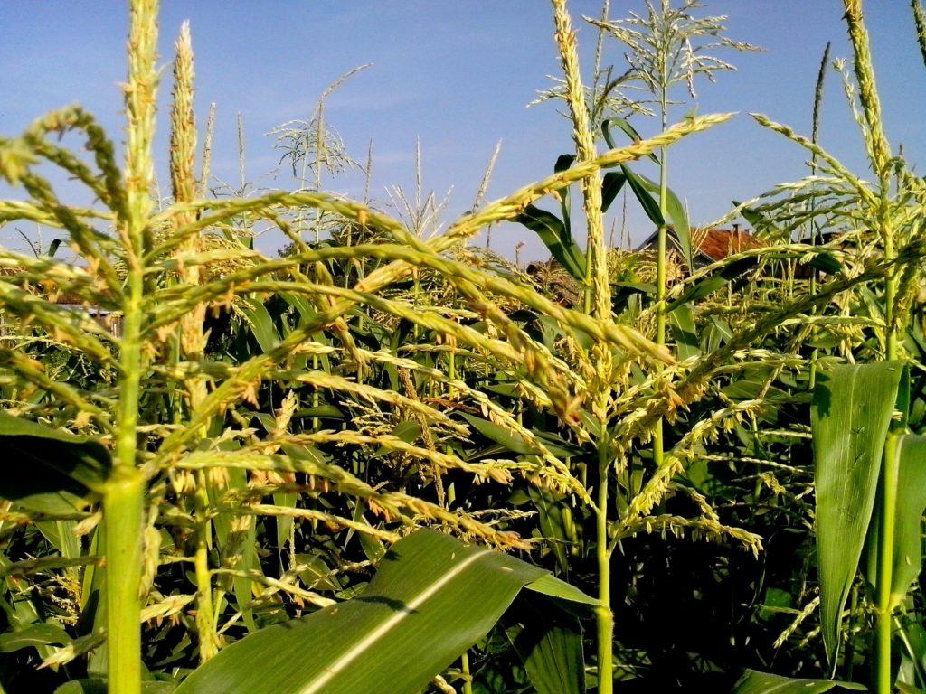 кукуруза описание