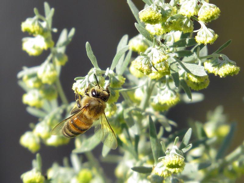 полынь горькая пыльценос