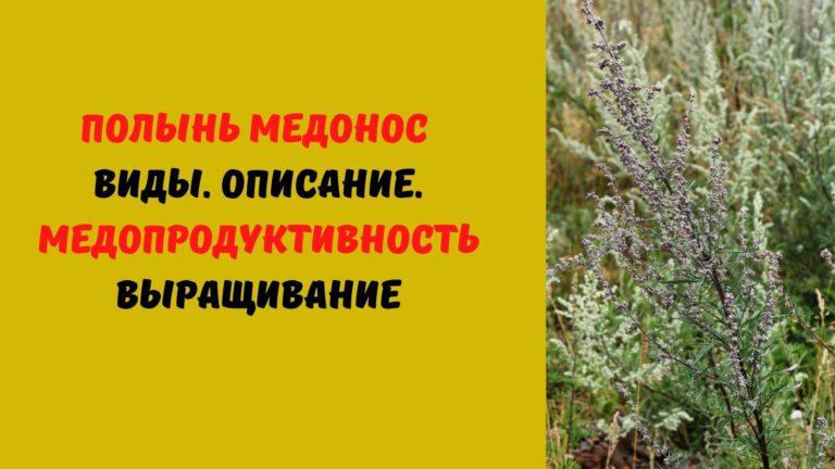 Полынь (медонос) пыльценос: Виды. Описание. Медопродуктивность. Выращивание