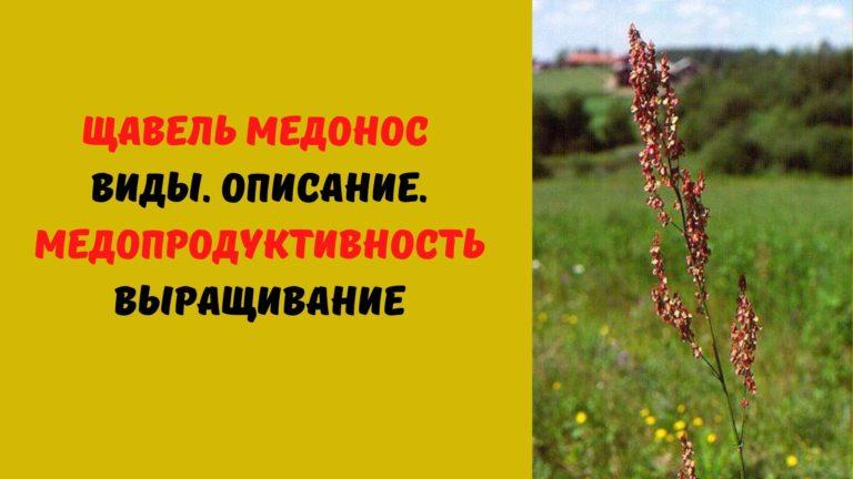 Щавель (медонос) пыльценос: Виды. Описание. Медопродуктивность. Выращивание
