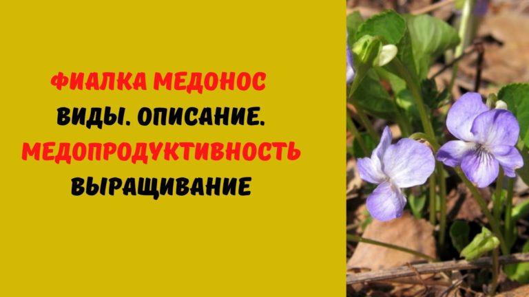 Фиалка (медонос): Виды. Описание. Медопродуктивность. Выращивание