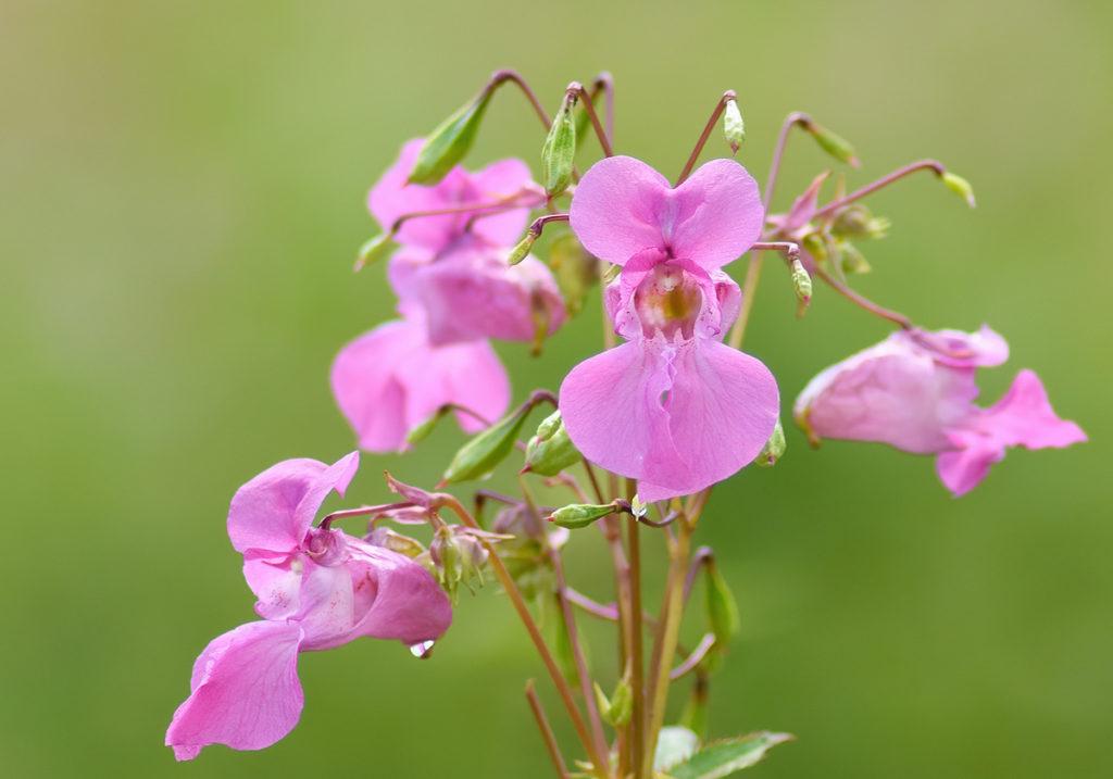 бальзамин Мелкоцветковый