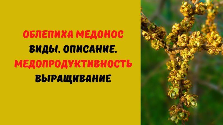 Облепиха медонос: Виды. Описание. Медопродуктивность. Выращивание