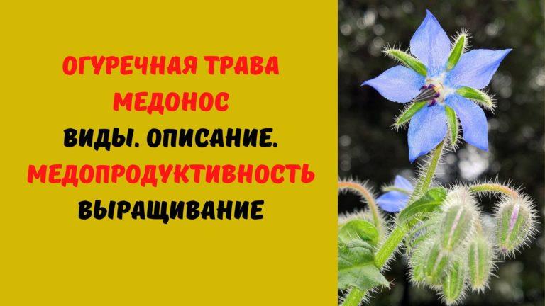 Огуречная трава медонос: Виды. Описание. Медопродуктивность. Выращивание