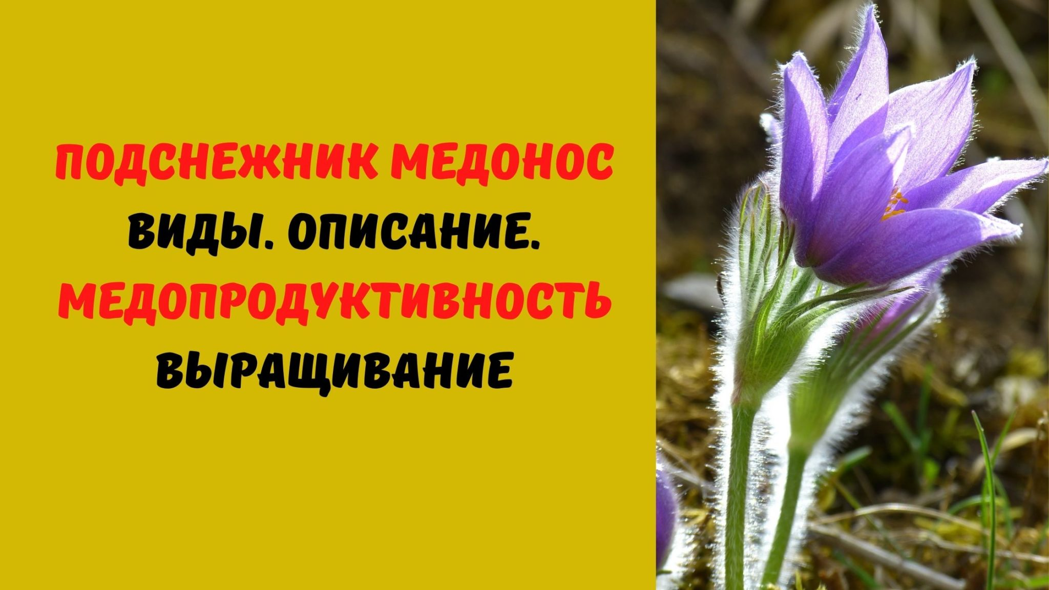 ПОДСНЕЖНИК МЕДОНОС