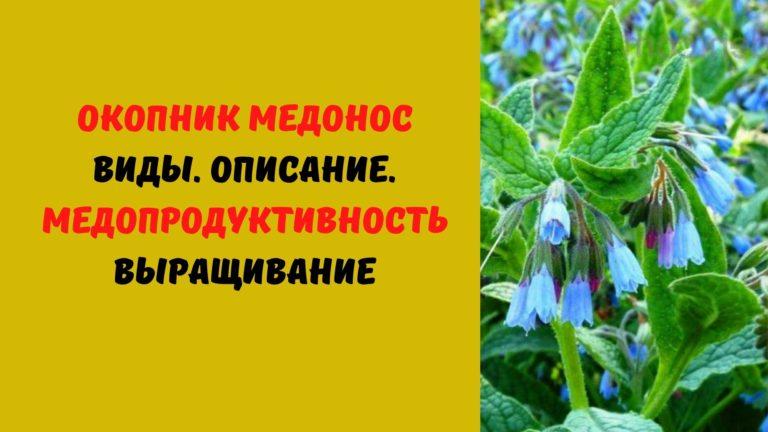 Окопник медонос: Виды. Описание. Медопродуктивность. Выращивание