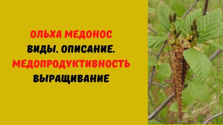 Ольха медонос: Виды. Описание. Медопродуктивность. Выращивание