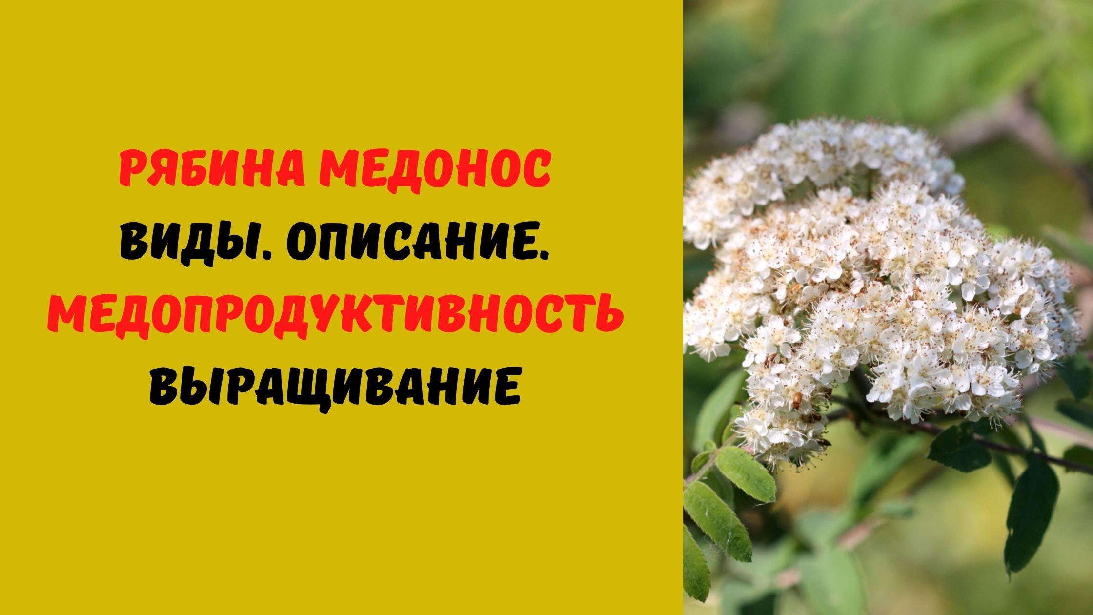 медонос рябина
