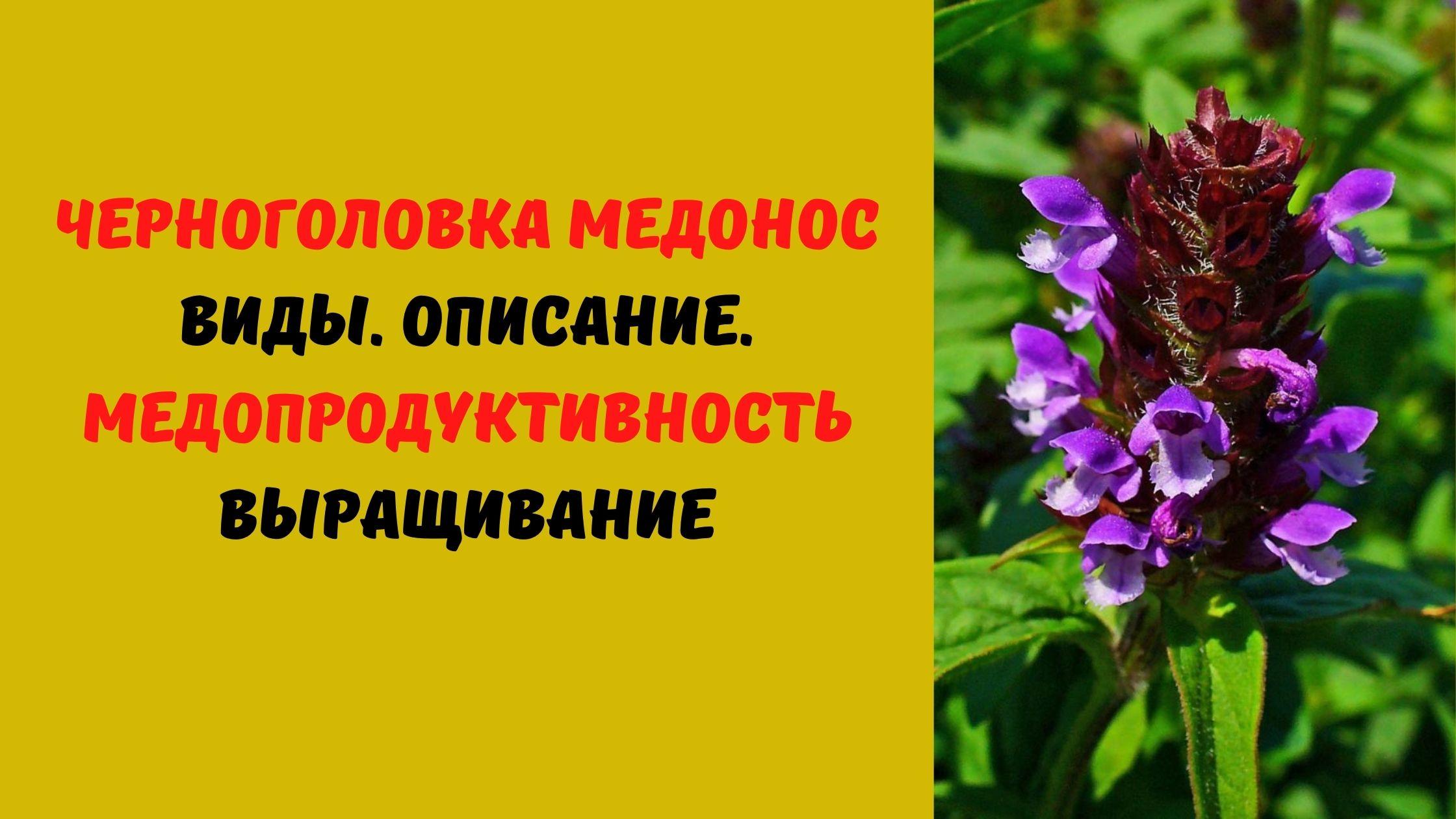 черноголовка медонос