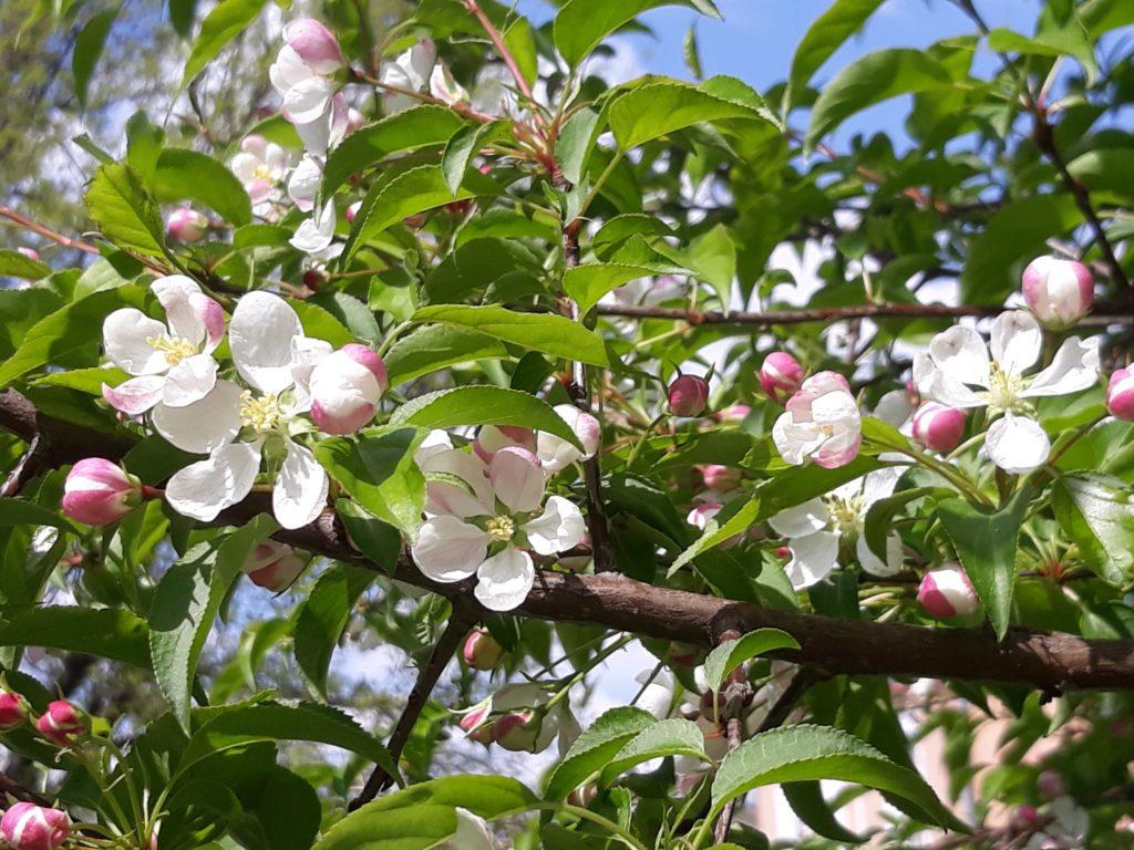 яблоня ягоднаяя
