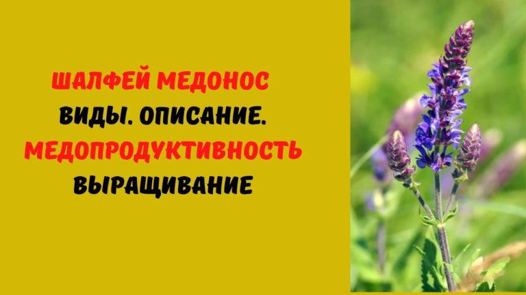 Шалфей медонос: Виды. Описание. Медопродуктивность. Выращивание