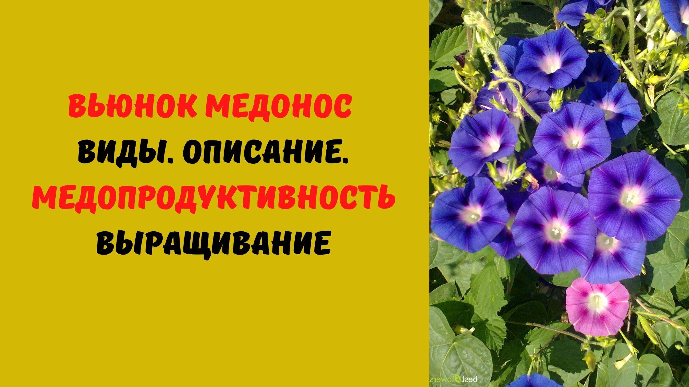 ВЬЮНОК МЕДОНОС