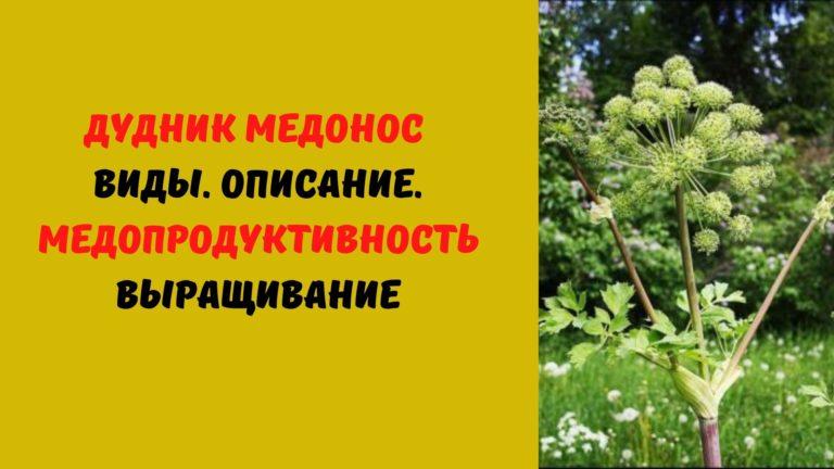 Дудник медонос: Виды. Описание. Медопродуктивность. Выращивание