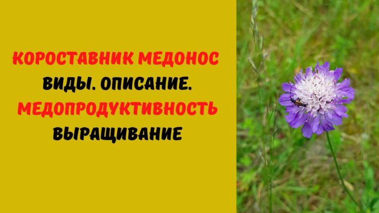 Короставник медонос: Виды. Описание. Медопродуктивность. Выращивание