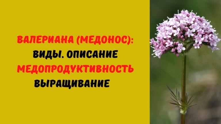 Валериана (медонос): Виды. Описание. Медопродуктивность. Выращивание