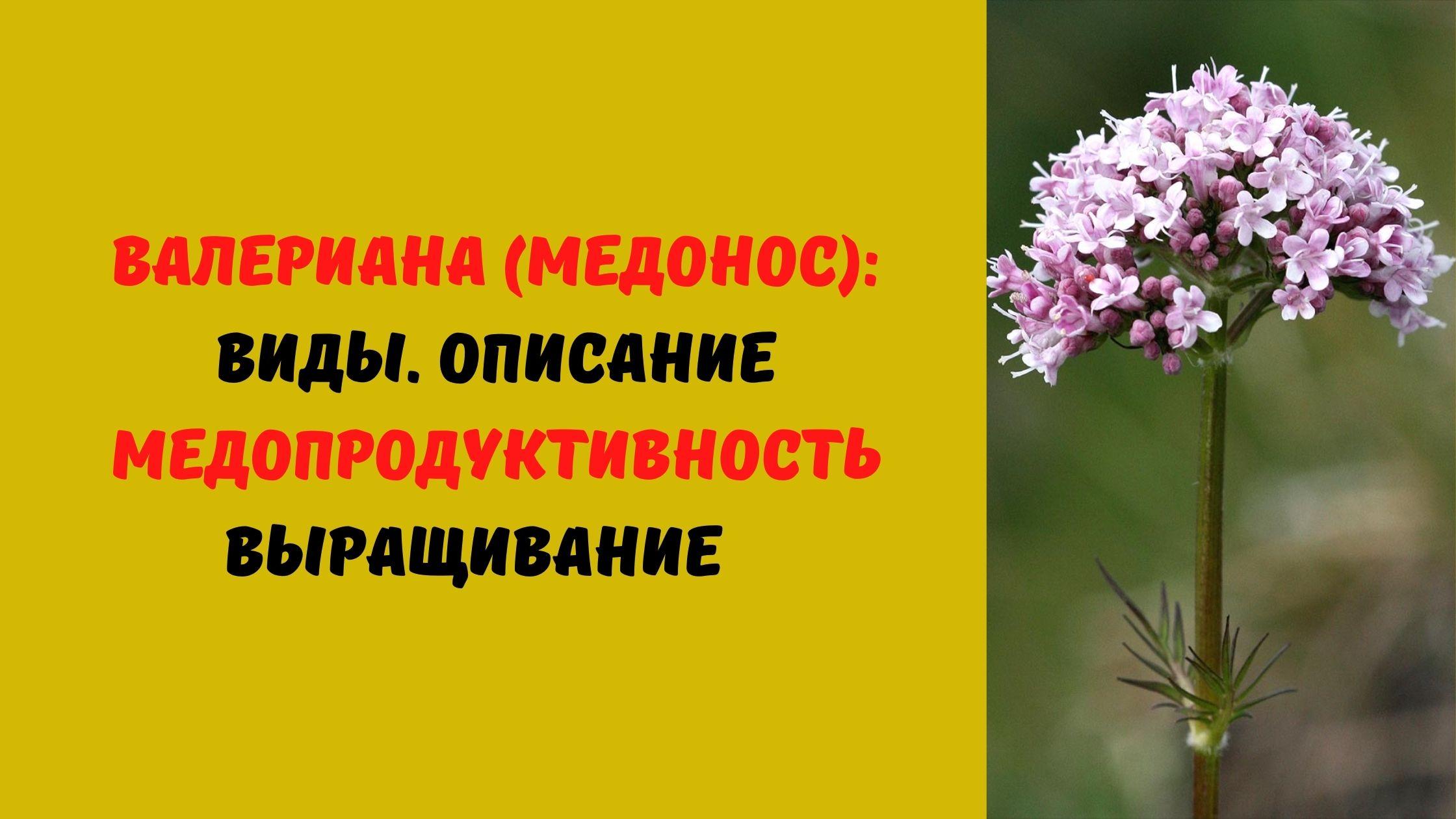 валериана медонос