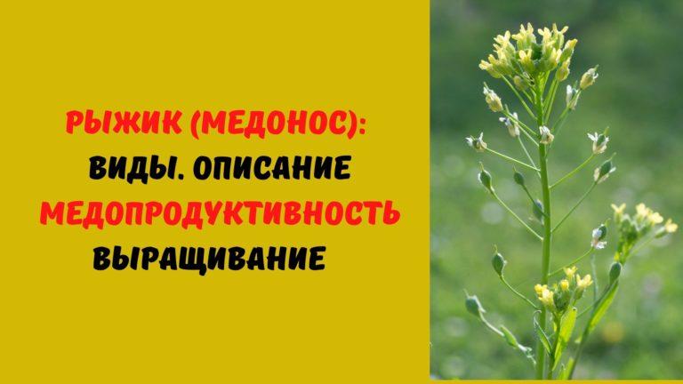Рыжик (медонос): Виды. Описание. Медопродуктивность. Выращивание