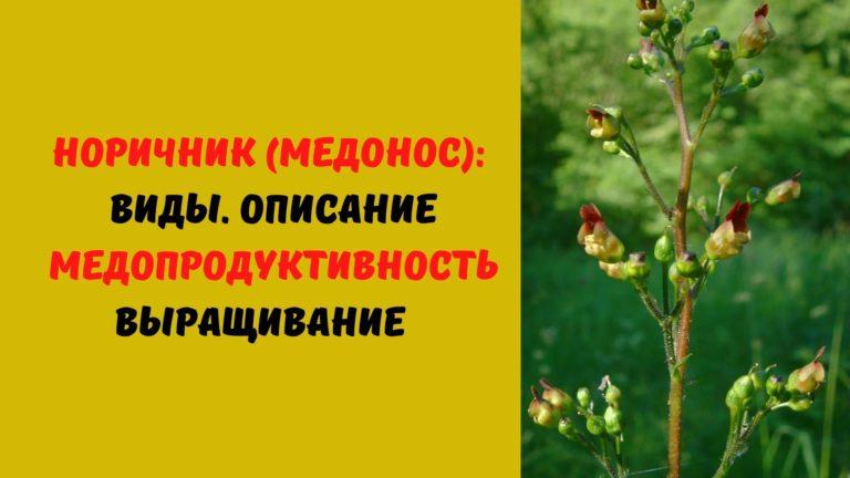 Норичник (медонос): Виды. Описание. Медопродуктивность. Выращивание