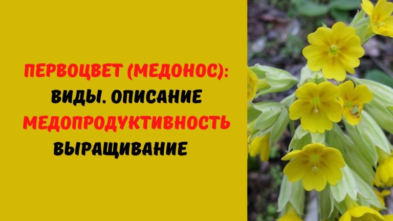 Первоцвет (медонос): Виды. Описание. Медопродуктивность. Выращивание