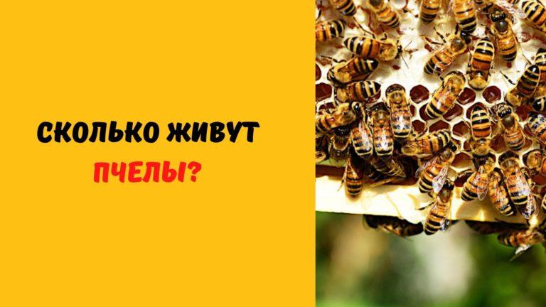Жизнь пчелиной семьи (Сколько живет матка. Рабочая пчела. Трутень)