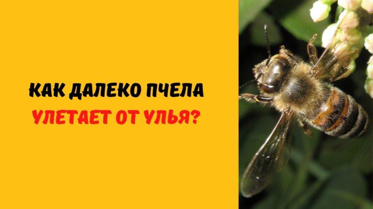 Как далеко пчела улетает за нектаром (Сколько за день пролетает пчела?)