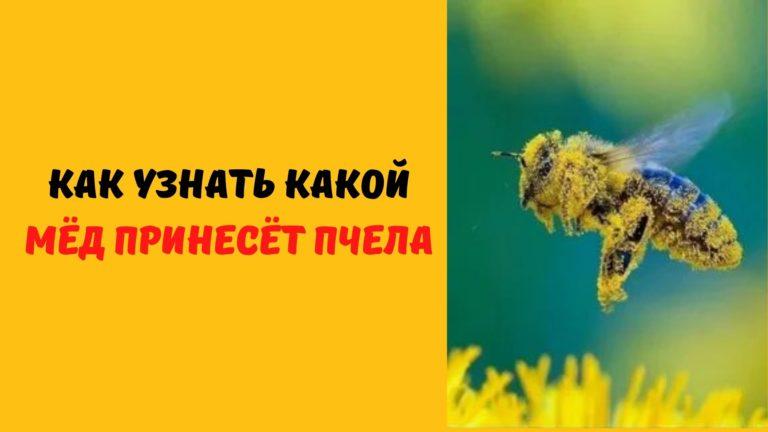Как узнать какой мёд принесет пчела?